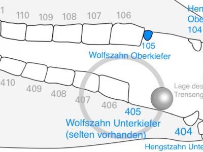 Die Lage von Hengst- und Wolfszähnen in Relation zur Lage einer Wassertrense zeigt die Platzverhältnisse im Pferdemaul auf.