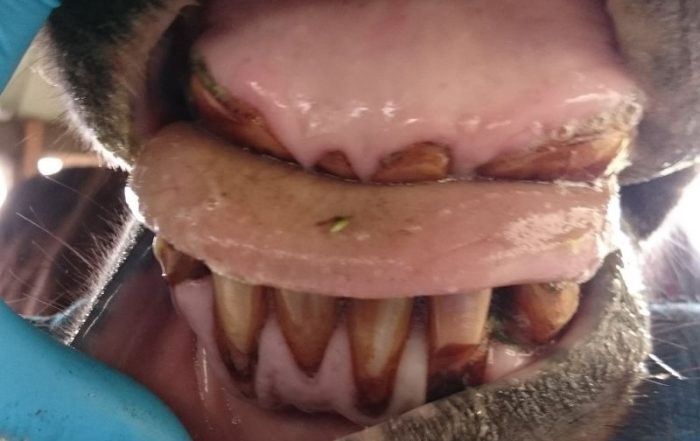 Bei dieser 27-jährigen Isi-Stute sind die Knollen im Oberkiefer bis auf das Zahnfleischniveau abgekaut. Die Schleimhaut zeigt sich allerdings weitgehend entzündungsfrei. Ganz anders sieht es im Unterkiefer aus.